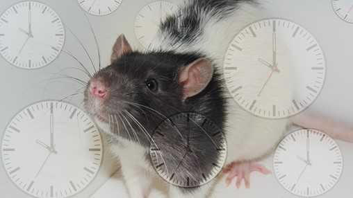 Plasma From Young Rats Shown to Reverse Aging in Old Rats